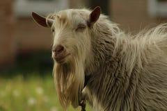 Chèvre en dehors de la maison dans le village photo stock