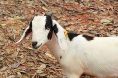 Chèvre en gros plan dans la nature photo stock
