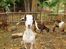 Chèvre en gros plan dans la nature image libre de droits