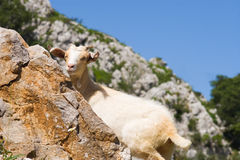 Chèvre en Picos de Europa photo stock