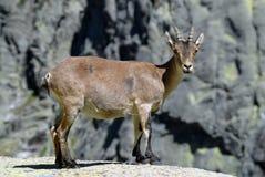 Chèvre en sierra de Gredos à Avila, Espagne Photos stock