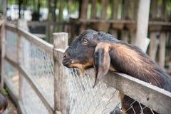 Chèvre et ami dans la ferme à la province de Phetchabun, Thaïlande Fa Photos libres de droits