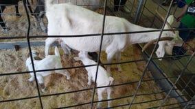 Chèvre et bébés Image libre de droits
