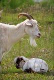 Chèvre et gosse Photos stock
