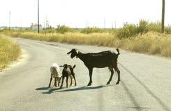 Chèvre et gosses Images libres de droits