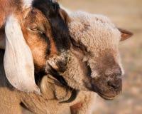 Chèvre et moutons Photo stock