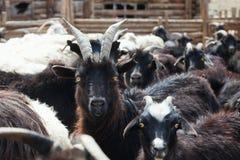 Chèvre et moutons Photographie stock