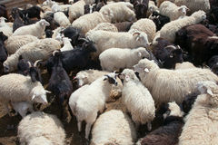 Chèvre et moutons Photos stock