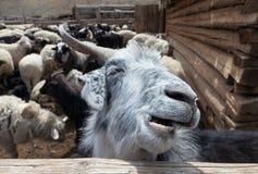 Chèvre et moutons Image libre de droits