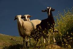 Chèvre et moutons Images stock