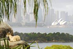 Chèvre et théatre de l'$opéra de Sydney Image stock