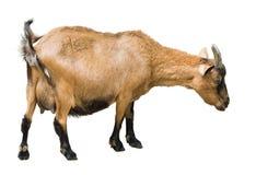 Chèvre femelle de ferme Photo stock
