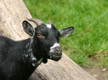 Chèvre foncée regardant l'appareil-photo Photo libre de droits