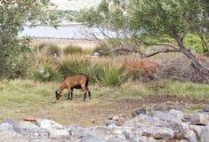 Chèvre frôlant près des oliviers verts Images libres de droits