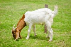 chèvre frôlant à la basse cour Image stock