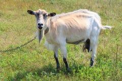 Chèvre frôlant dans le domaine un jour d'été Image stock