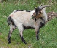 Chèvre frôlant l'herbe Images stock