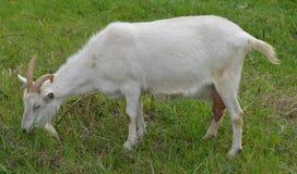 Chèvre frôlant l'herbe Photos libres de droits