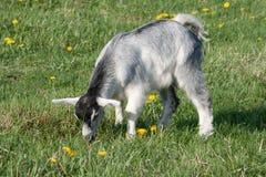 Chèvre grise Photographie stock