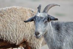 Chèvre grise Photo libre de droits