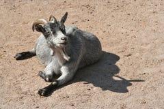 Chèvre heureuse photo libre de droits