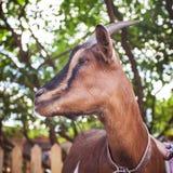 Chèvre heureuse curieuse se tenant dans une cour regardant de côté pet Image stock