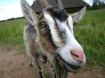 Chèvre III image libre de droits