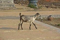 Chèvre indienne Image libre de droits