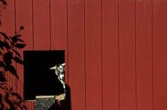 Chèvre jetant un coup d'oeil hors de la porte de grange Photo libre de droits