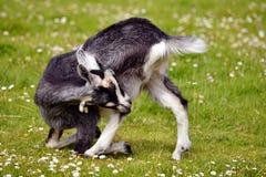 Chèvre juvénile sur l'herbe Photographie stock