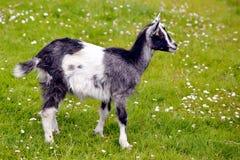 Chèvre juvénile sur l'herbe Images libres de droits