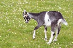 Chèvre juvénile sur l'herbe Photo stock