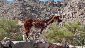 Chèvre L'Oman, Musandam, le golfe d'Oman, village antique de Haffa banque de vidéos