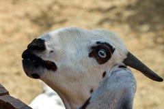 Chèvre photo libre de droits
