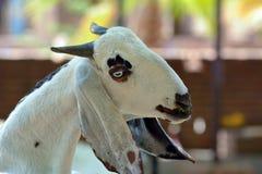 Chèvre photos stock
