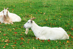 Chèvre mâle photo stock