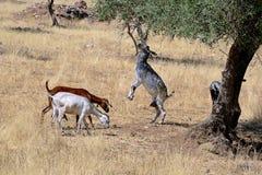 Chèvre mangeant des olives Images libres de droits