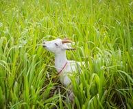 Chèvre mangeant l'herbe Photo stock
