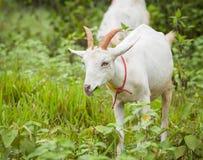 Chèvre mangeant l'herbe Photographie stock