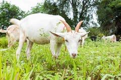 Chèvre mangeant l'herbe Image libre de droits