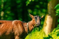 Chèvre mangeant l'herbe Photographie stock libre de droits