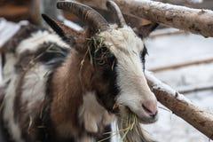 Chèvre mangeant le foin au-dessus de la barrière Photographie stock