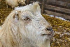 Chèvre masculine blanche Image libre de droits