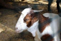 Chèvre mignonne dans le jardin près de la grotte de Jeita, Liban image stock