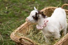 Chèvre mignonne de bébé dans un sac Images libres de droits