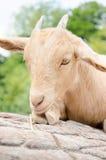 Chèvre mignonne de jeune garçon dans une ferme Photographie stock libre de droits