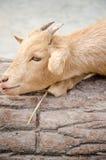 Chèvre mignonne de jeune garçon dans une ferme Photos stock