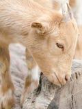 Chèvre mignonne de jeune garçon dans une ferme Images libres de droits
