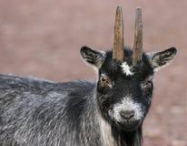 Chèvre mignonne de Smal Photos libres de droits
