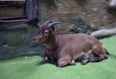 Chèvre miniature du Cameroun Image libre de droits